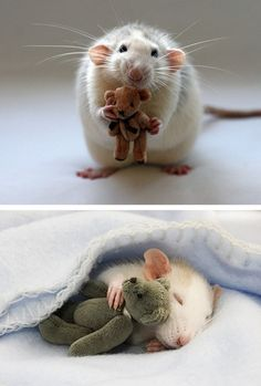 """Studies have proven that rats laugh when you tickle them. And now they cuddle tiny teddy bears. Awwww!"