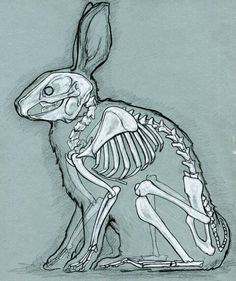 Anathomy of a rabbit.