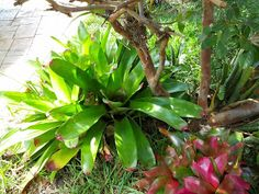 Gardening in South Florida- bromeliads