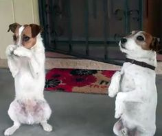 Two cute little jack russell terriers practice their tricks...