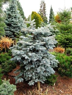 Picea pungens 'Kohout'