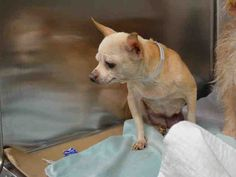A1046670_MIMI 2 BE DESTROYED TONIGHT 8/7/15 OR 2MORROW! HOW TERRIFIED, SCARED, HEARTBROKEN N LOST  THESE POOR ANIMALS MUST FEEL! WE HAVE A CHOICE, WE CAN BE THEIR VOICE, WE CAN CHOOSE LIFE, NOT DEATH!! WE R HER ONLY HOPE FOR SURVIVAL!! PLEASE SAY YES TO COMPASSION FOR MIMI'S LIFE!! DONT LET THEM KILL HER! PUBLICLY ADOPTABLE!