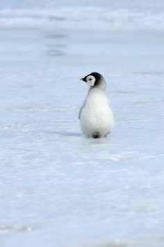 penguin chick?