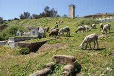 Cimetière au nord de Fès au pied des tombeaux des Mérinides avec un troupeau de moutons entre les tombes.