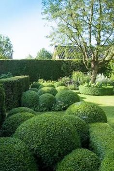 Boxwood & Hedge & Topiary: this would look fantastic near the kitchen end of the house, how perfect !: