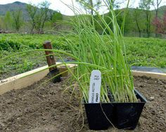 Gardener's Supply -- Onions can be a confusing vegetable for new gardeners. Should you grow long-day or short-day onions? Seeds, seedlings or sets? How are storage onions different from sweet onions? Here's how to sort out the terms. Growing Fruit, Garden, Growing Greens, Propagating Plants, Growing Vegetables, Green Onions Growing, Growing Onions, Tilapia Farming, Garden Supplies