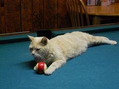Stubbs the town mayor — no, really (31 Photos) » Stubbs-cat-mayor ...