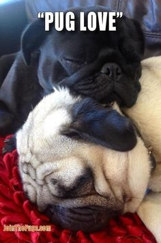 Sleeping pugs- reminds me of my babies... before Leah went with uncle buck =( http://pugsareus.net/pOver60PugDesigns