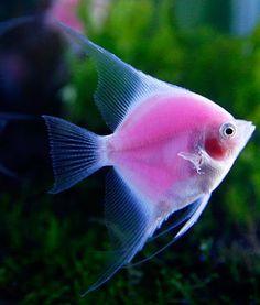 Pink Angel Fish ปลาเทวดาพิ้งค์ แองเจิ้ล