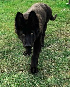 Popular Dog Breeds The Average Pet Owner Should Think Twice About Before Bringing Home Big Dogs, Cute Dogs, Belgian Malinois Dog, Scary Dogs, Popular Dog Breeds, Gsd Puppies, Beagle Mix, Schaefer, German Shepherd Dogs