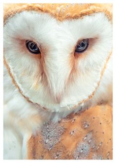 Beautiful barn owls, so lovely to hear at night when camping in the country.