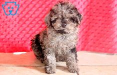 This sweet Cockapoo puppy will be an affectionate addition to your family. She is quite the prince charming and will surely be the talk of the town. Cockapoo Puppies For Sale, Prince Charming, Cute Dogs, Glow, Glitter