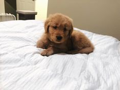 i took over mom and dads bed 🤪 i rule this house Dogs Golden Retriever, Take My, Mom And Dad, Dads, House, Instagram, Animals, Animales, Home