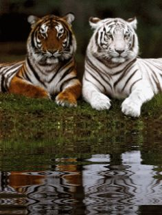 A Siberian and White Bengal tiger White Bengal Tiger, White Tigers, Cheetahs, Pretty Cats, Zoo Animals, Big Cats, Beautiful Creatures, Lions, Animal Pictures