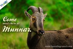 Munnar is not just about greenery, you have the option to view wildlife in its natural habitat at Eravikkulam national park.