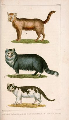 Domestic cats - Oeuvres complètes de Buffon (1830) originally published in the 18th century.    Buffon's Quadrupeds. Scan of 2 d images in the public domain believed to be free to use without restriction in the US.