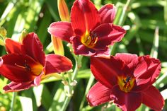 Day Lillies....Scarlet Tangier.