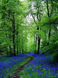 bluebell path in Fife, Scotland