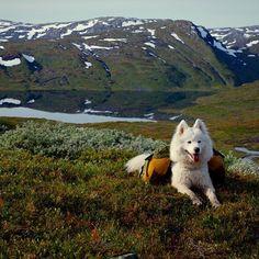 #samojed #polarhund