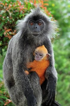 Silvered Leaf Monkey and baby. Mommy has her baby tucked tight against her chest. Nature Animals, Animals And Pets, Baby Animals, Funny Animals, Cute Animals, Strange Animals, Wild Animals, Primates, Mammals