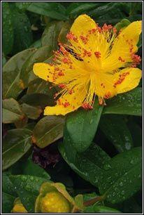 Irish Wildflowers - Rose-of-Sharon