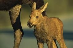 @Amanda Maslonka I just thought this little baby moose was so adorable! I was looking for table of contents pages for MOOSE binders (even though mine is a BRONCO binder) just to jump start my brain!