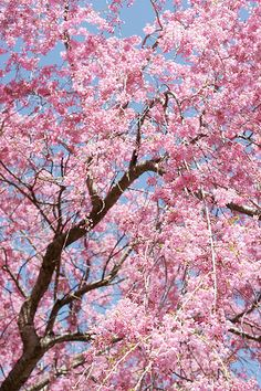 Beautiful Weeping cherry my favorite, maybe just ONE more.Home Depot here I come. Cherry Blossom Wallpaper, Cherry Blossom Tree, Blossom Trees, Cherry Tree, Garden Pictures, Flower Pictures, Nature Pictures, Flowers Nature, Love Flowers