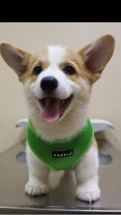 A cute Corgi puppy. He seems to be happy even at the vet. Cute Corgi, Cute Puppies, Dogs And Puppies, Cute Baby Animals, Funny Animals, Welsh Corgi Puppies, Cute Creatures, Puppy Pictures, I Love Dogs