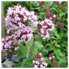 Marjoram, nectar rich loved by butterflies and bees. Self seeds everywhere but I love it! Bees, Butterflies, Photo And Video, Garden, Plants, Instagram, Garten, Butterfly, Gardens