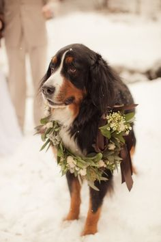 bernese mountain dog ~ I absolutely LOVE a dog at a wedding! Izzy is wearing a pretty flower wreath from ARTISAN BLOOM. Will your pup be part of your big day? Dog Wedding, Dream Wedding, Wedding Day, Wedding Photos, Wedding Couples, Wedding Decor, Wedding Stuff, Hand Flowers, Bridal Flowers