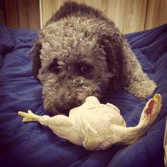 Amor de frango