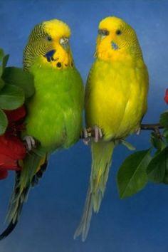 http://cdn.litlepups.net/2016/02/16/love-birds-iphone-hd-wallpaper-iphone-hd-wallpaper-download-iphone.jpg