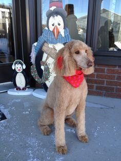 Ready for Christmas. Adèle Red Standard Poodle.
