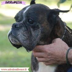 ANDROMEDA, BOXER FEMMINA U2013 8 ANNI Andromeda Verrà Affidata Solo Al Nord  Italia O Toscana