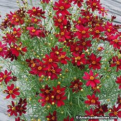 Part of the new Permathread series, Coreopsis Red Satin is a gorgeous re-bloomer. Deep red flowers delight all summer long and this easy-to-grow plant tolerates sunny and dry conditions. (Coreopsis) USPPAF