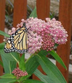 Monarch on butterfly weed -- Milkweed! Butterfly Food, Monarch Butterfly, Beautiful Butterflies, Beautiful Flowers, Beautiful Things, Garden Gates, Native Plants, Hummingbirds, Dragonflies