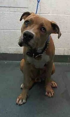 Urgent Dogs of Miami · LUCKY (A1670004) I am a male fawn and white Pit Bull Terrier mix. The shelter staff think I am about 2 years old. I was found as a stray and I may be available for adoption on 01/07/2015. https://www.facebook.com/urgentdogsofmiami/photos/pb.191859757515102.-2207520000.1420156034./901147843252953/?type=3&theater