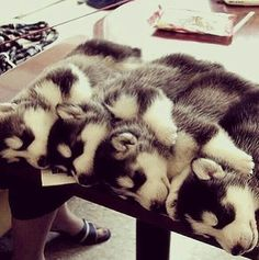 Baby huskies STOP I CANT HANDLE THIS