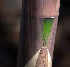 Phyllostachys viridis 'Robert Young' Bamboo Species, Robert Young, Plants