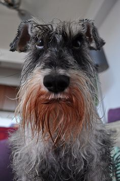 I will always have a soft spot for schnauzers.