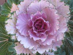 flowering cabbage by crazygardener on DeviantArt Cabbage Flowers, Yard Ideas, Kale, Roses, Bloom, Deviantart, Garden, Plants, Beautiful