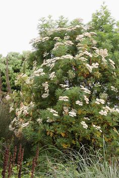 Big clusters of cream-colored flowers, almost like yarrow, form on the Santa Cruz Island ironwood (Lyonothamnus floribundus ssp. aspleniifolius) in early summer, fading through buff pink to dark grey. http://calscape.org/Lyonothamnus-floribundus-ssp.-aspleniifolius-(Santa-Cruz-Island-Ironwood)?srchcr=sc577291df9a04b