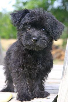 I want a black Yorkipoo!