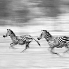 This is the colour version of a B&W pan blur that I submitted over a year ago. Captured on the shores of Lake Manze in the Selous Game Reserve- Tanzania. Panning Photography, Game Reserve, National Geographic Photos, Your Shot, Zebras, Tanzania, Blur, Amazing Photography, Giraffe