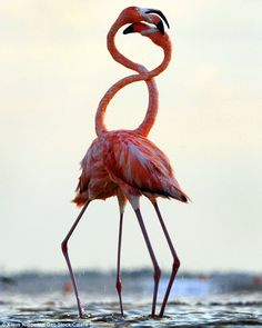 Close-up: These pictures of flamingos were captured by photographer Klaus Nigge in Yucatan, Mexico. They may look like they're in love but these two flamingos are actually fighting