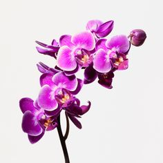 Big Blooms: Orchids