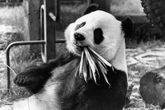 Box Canvas Print (other products available) - April London Zoo& Panda Ching-Ching eats a mouthful of bamboo shoots. (Photo by Colin Davey/Evening Standard/Getty Images) - Image supplied by Fine Art Storehouse - inch Box Canvas Print made in the UK Fine Art Prints, Canvas Prints, Framed Prints, Zoo Photos, Panda Art, Animal Food, Bamboo Shoots, Poster Size Prints, Fine Art Paper