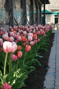 Tulip border Stonewall Kitchen, York, ME