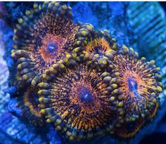 scrface zoanthids - Google Search