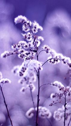 Purple dandelion #iPhone #5s #Wallpaper